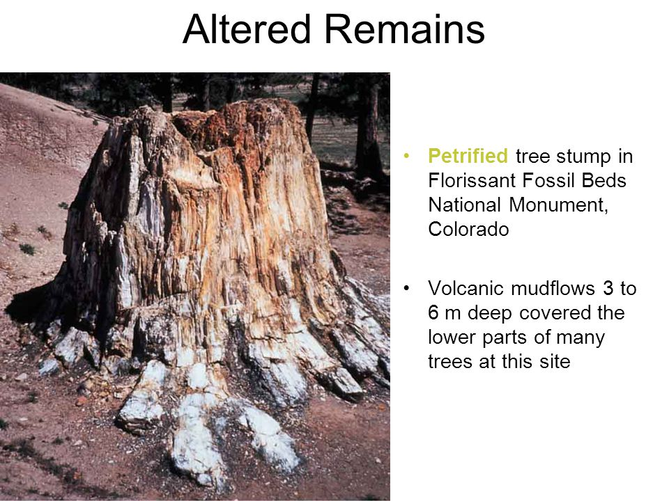 Petrified tree stump in Florissant Fossil Beds National Monument, Colorado Volcanic mudflows 3 to 6 m deep covered the lower parts of many trees at th