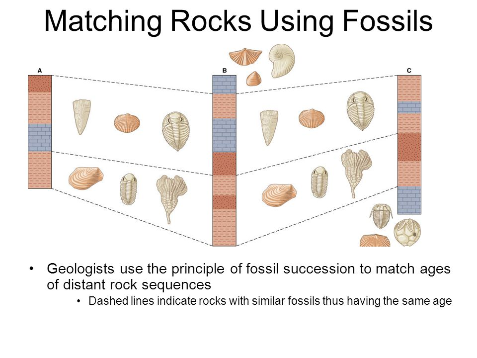 Geologists use the principle of fossil succession to match ages of distant rock sequences Dashed lines indicate rocks with similar fossils thus having