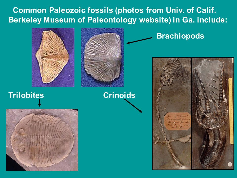 Common Paleozoic fossils (photos from Univ. of Calif.