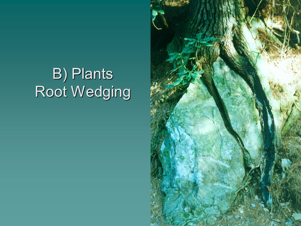 B) Plants Root Wedging
