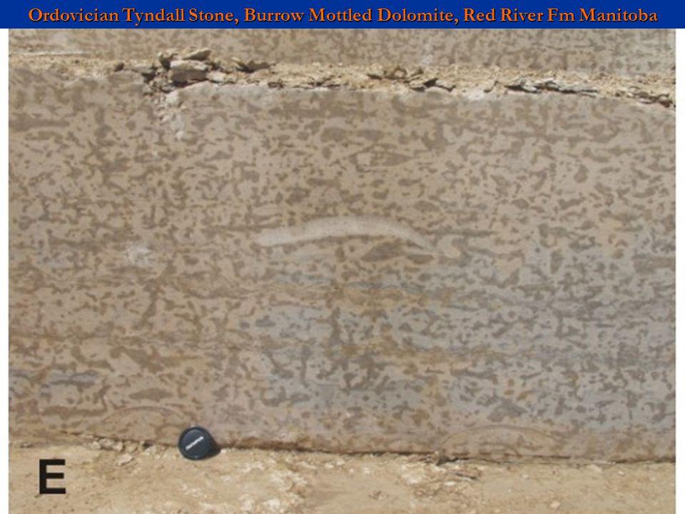 Ordovician Tyndall Stone, Burrow Mottled Dolomite, Red River Fm Manitoba
