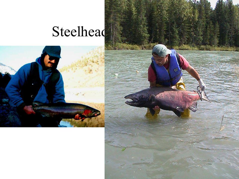 Steelhead and Chinook