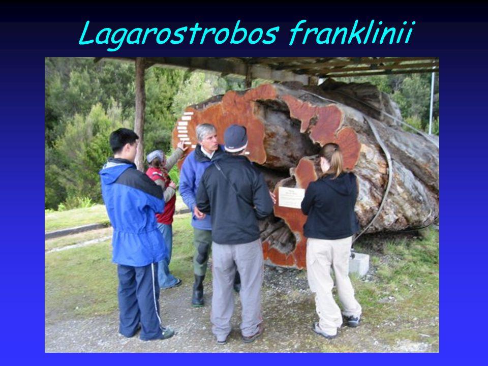 Lagarostrobos franklinii