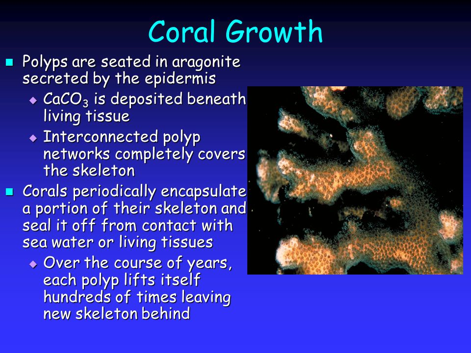 Coral Growth Polyps are seated in aragonite secreted by the epidermis Polyps are seated in aragonite secreted by the epidermis  CaCO 3 is deposited beneath living tissue  Interconnected polyp networks completely covers the skeleton Corals periodically encapsulate a portion of their skeleton and seal it off from contact with sea water or living tissues Corals periodically encapsulate a portion of their skeleton and seal it off from contact with sea water or living tissues  Over the course of years, each polyp lifts itself hundreds of times leaving new skeleton behind