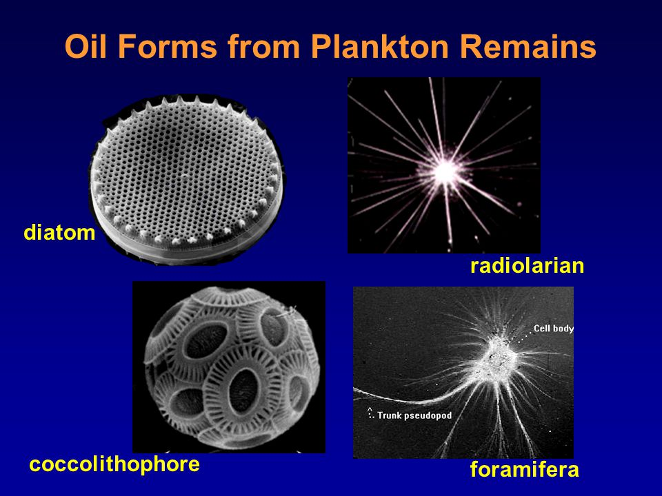 Oil Forms from Plankton Remains diatom coccolithophore radiolarian foramifera