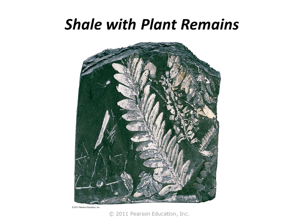 © 2011 Pearson Education, Inc. Shale with Plant Remains