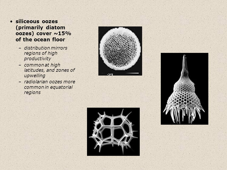 siliceous oozes (primarily diatom oozes) cover ~15% of the ocean floor –distribution mirrors regions of high productivity –common at high latitudes, and zones of upwelling –radiolarian oozes more common in equatorial regions