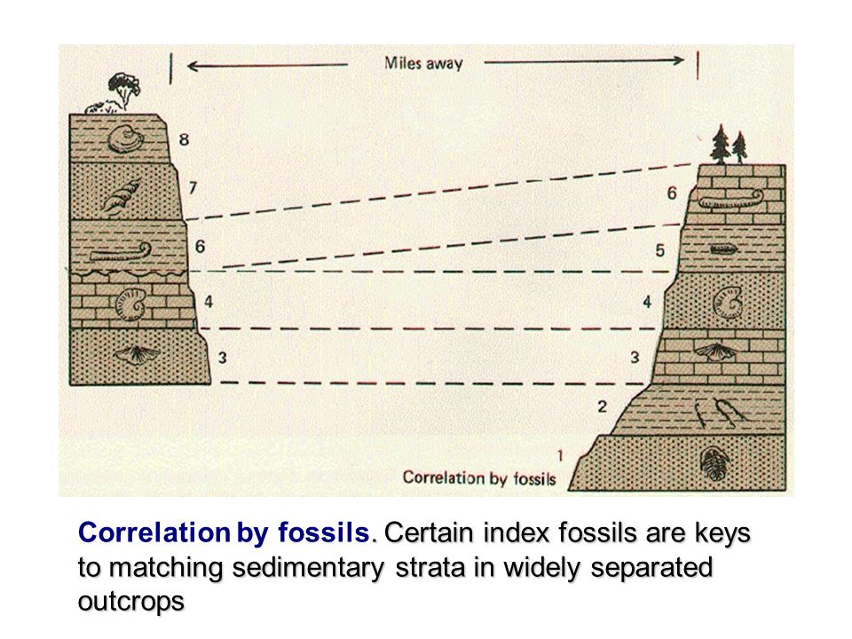 . Certain index fossils are keys to matching sedimentary strata in widely separated outcrops Correlation by fossils. Certain index fossils are keys to