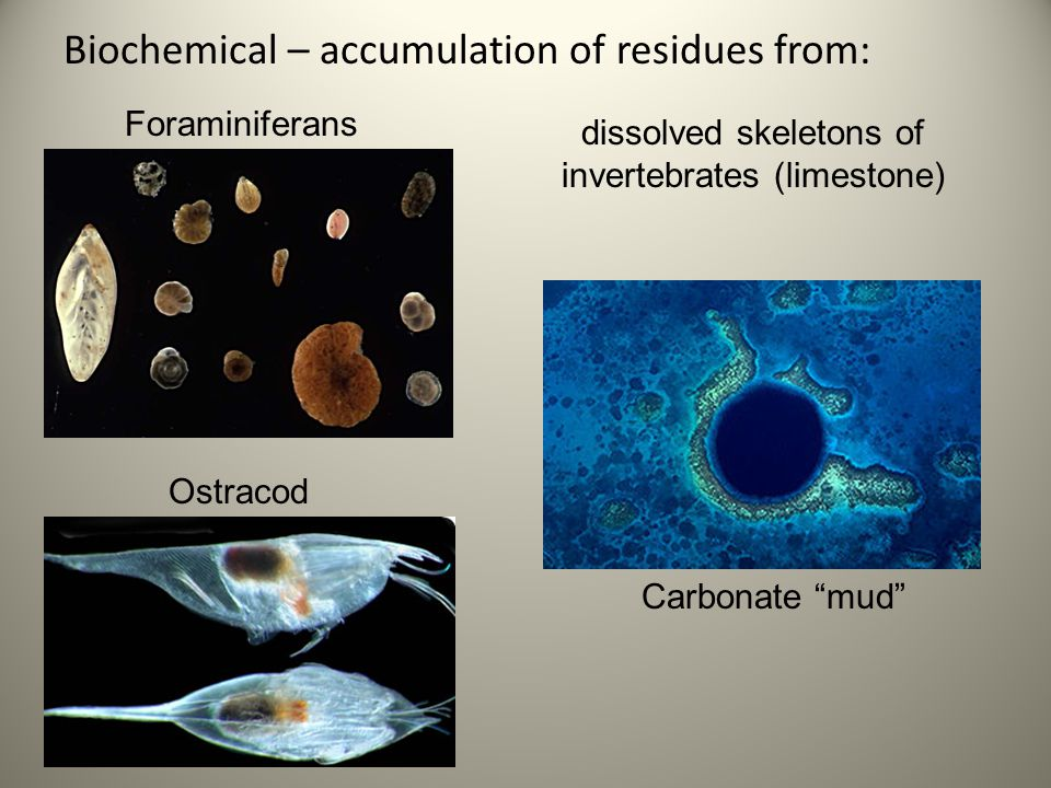 Biochemical – accumulation of residues from: dissolved skeletons of invertebrates (limestone) Carbonate mud Ostracod Foraminiferans