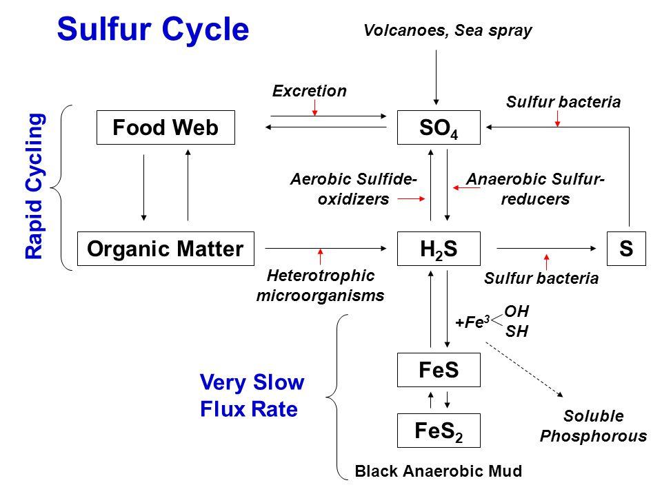 Sulfur Cycle Food Web Organic MatterH2SH2S Heterotrophic microorganisms SO 4 Anaerobic Sulfur- reducers Aerobic Sulfide- oxidizers S Excretion Sulfur