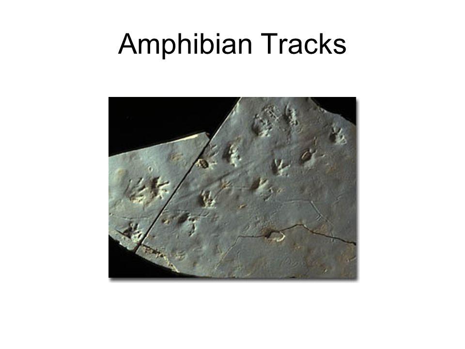 Amphibian Tracks