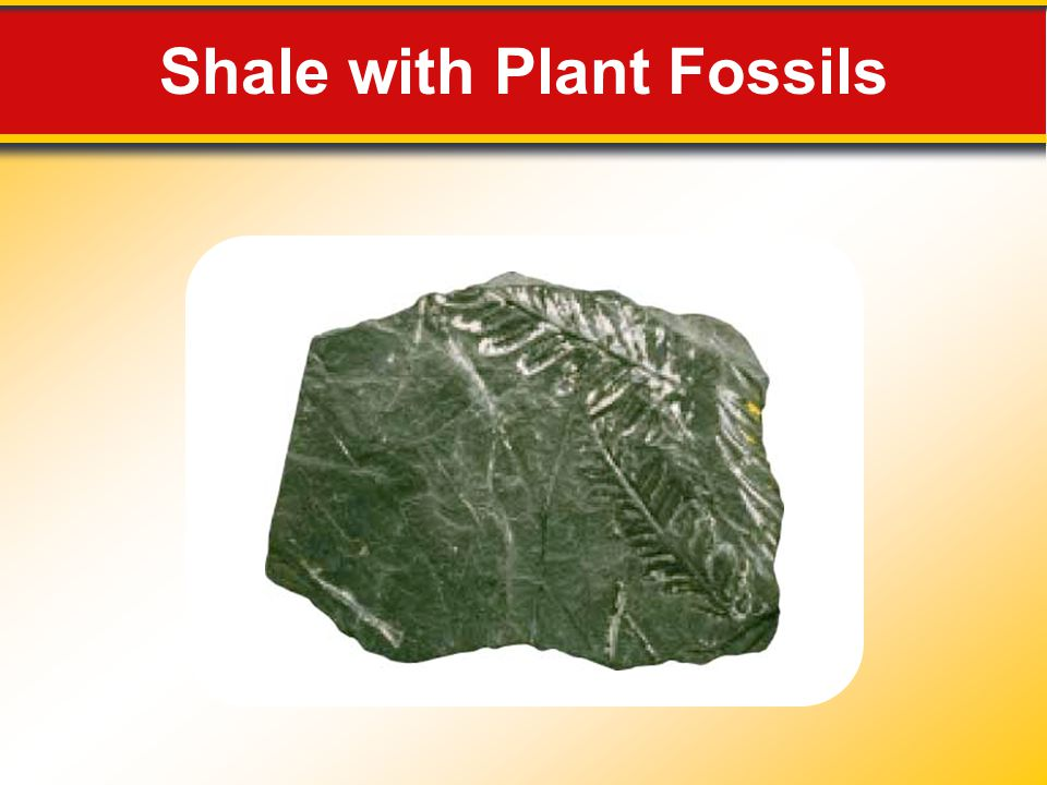 Shale with Plant Fossils