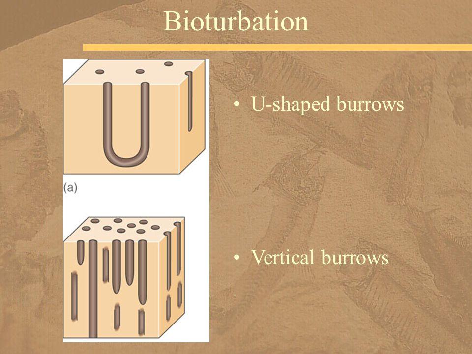 U-shaped burrows Bioturbation Vertical burrows