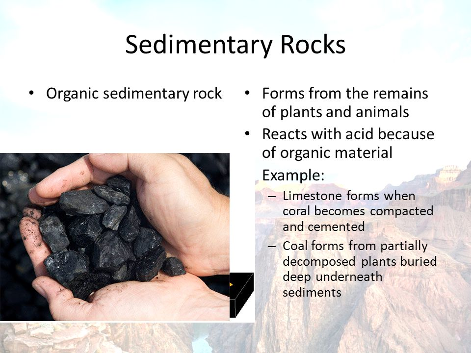 Sedimentary Rocks Organic sedimentary rock Forms from the remains of plants and animals Reacts with acid because of organic material Example: – Limestone forms when coral becomes compacted and cemented – Coal forms from partially decomposed plants buried deep underneath sediments