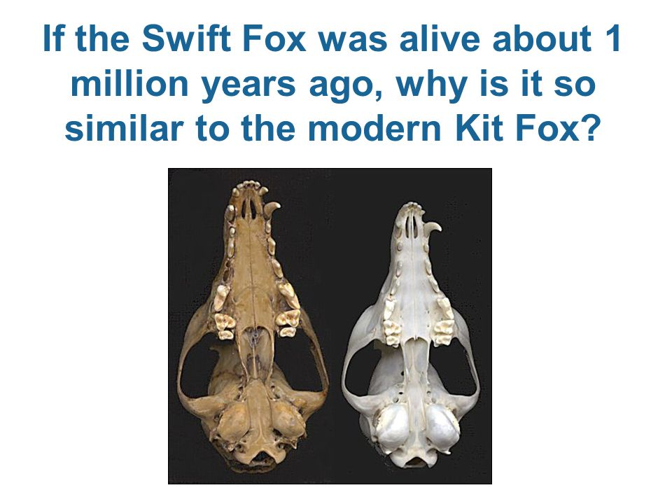 If the Swift Fox was alive about 1 million years ago, why is it so similar to the modern Kit Fox?