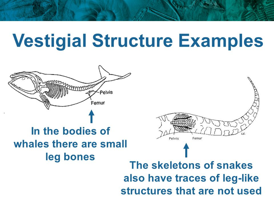 Vestigial Structure Examples In the bodies of whales there are small leg bones The skeletons of snakes also have traces of leg-like structures that ar
