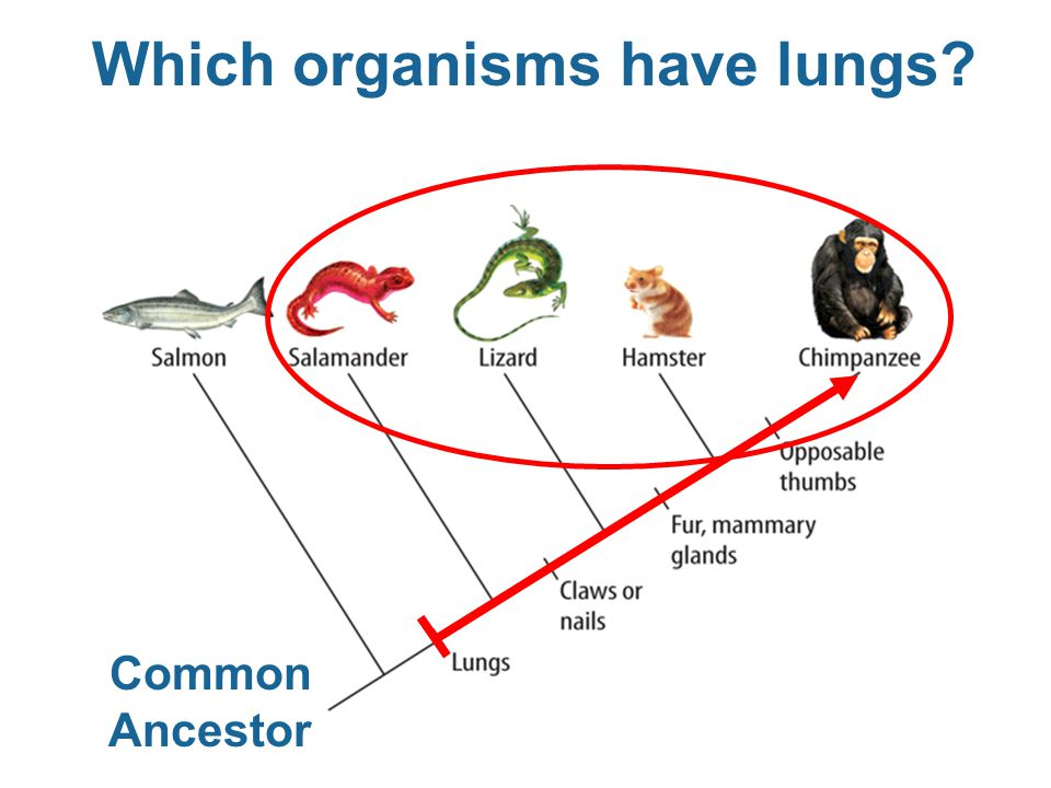 Which organisms have lungs? Common Ancestor