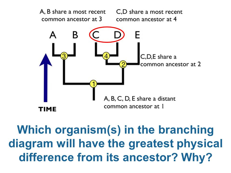 Which organism(s) in the branching diagram will have the greatest physical difference from its ancestor? Why?