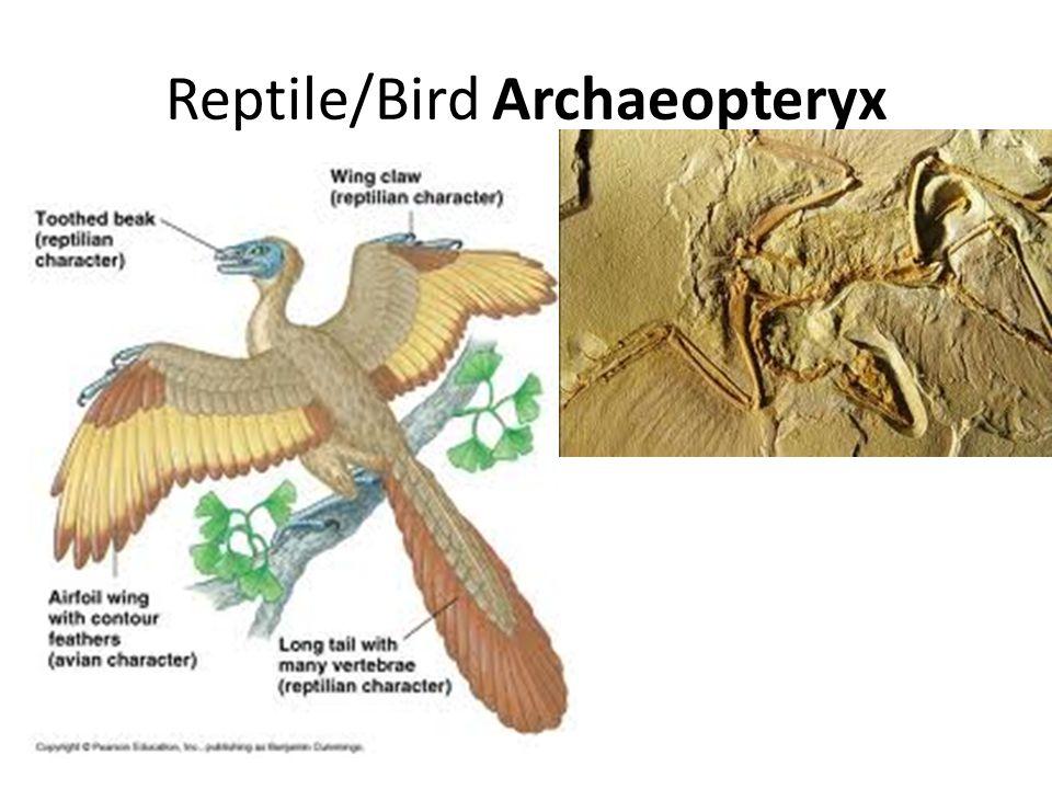 Reptile/Bird Archaeopteryx