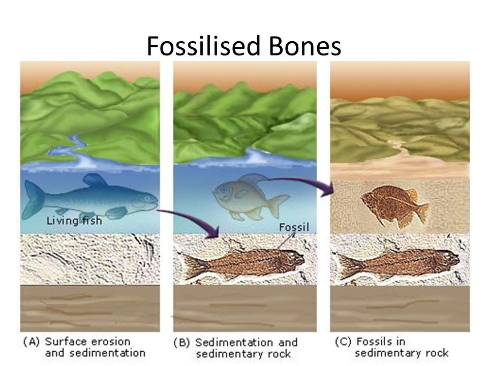 Fossilised Bones