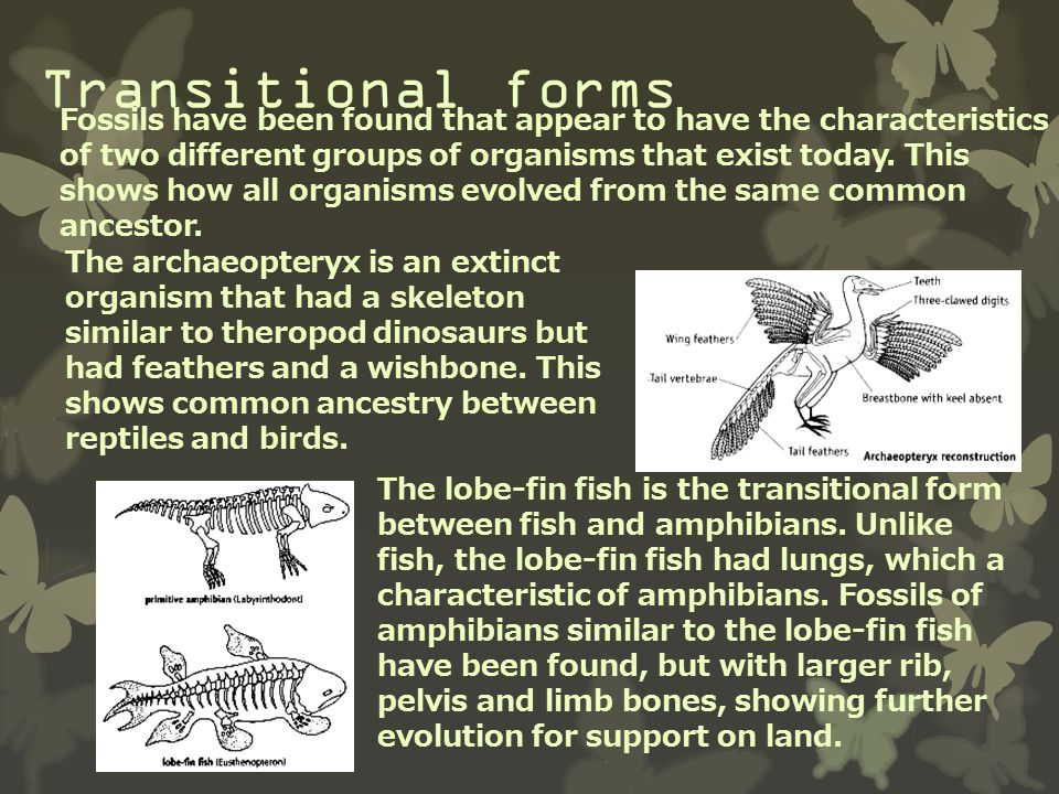 Transitional forms Fossils have been found that appear to have the characteristics of two different groups of organisms that exist today. This shows h