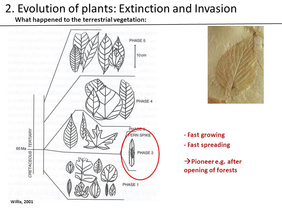 What happened to the terrestrial vegetation: Willis, 2001 - Fast growing - Fast spreading  Pioneer e.g.