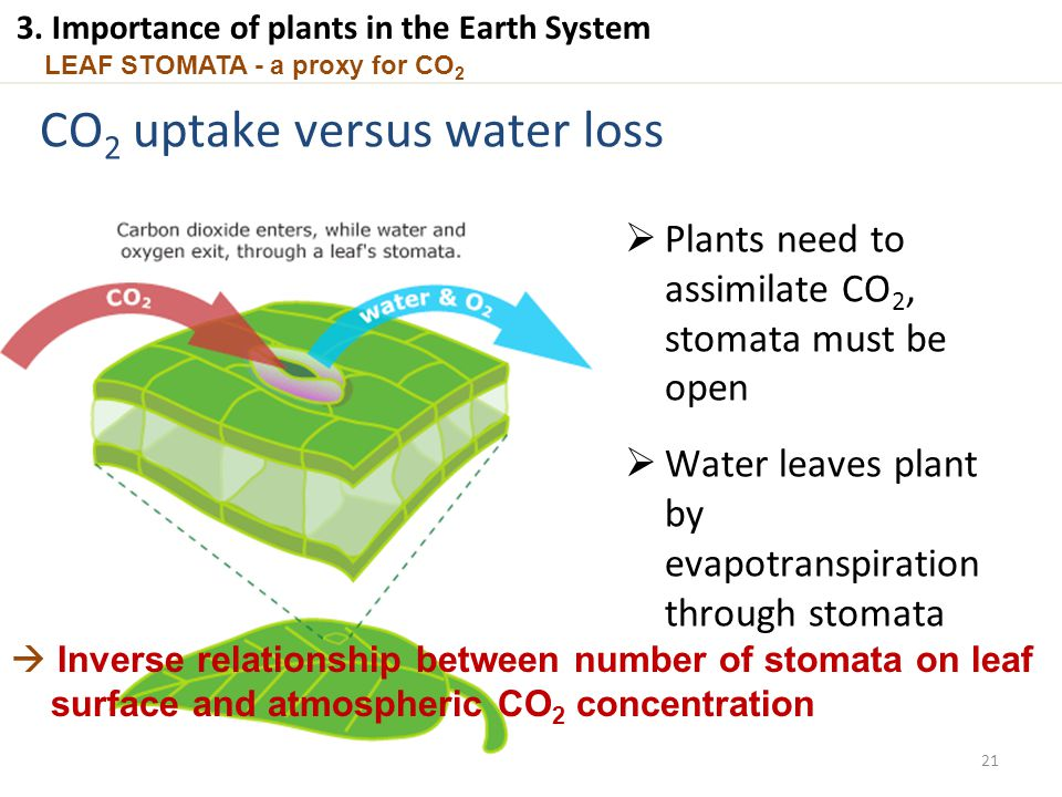 LEAF STOMATA - a proxy for CO 2 CO 2 uptake versus water loss  Plants need to assimilate CO 2, stomata must be open  Water leaves plant by evapotran