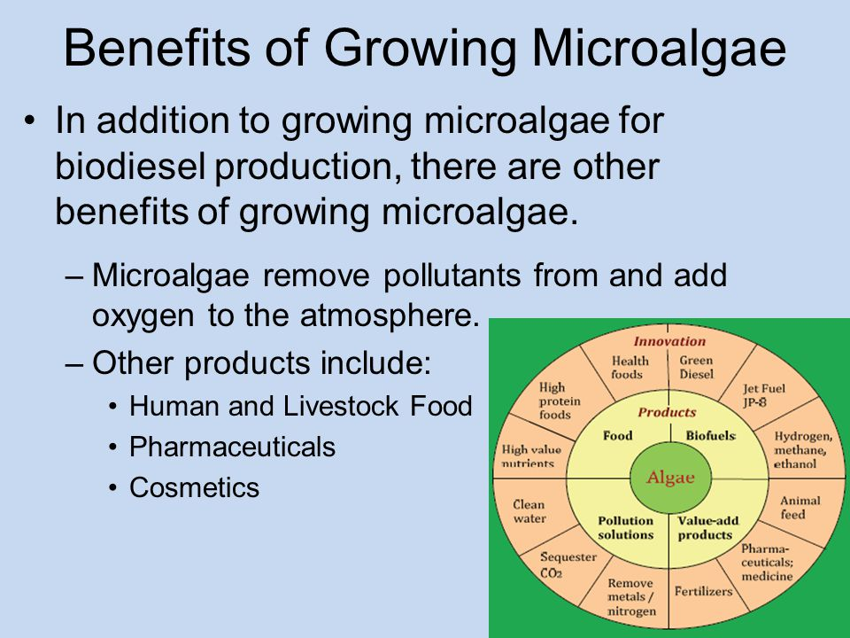 Benefits of Growing Microalgae In addition to growing microalgae for biodiesel production, there are other benefits of growing microalgae.