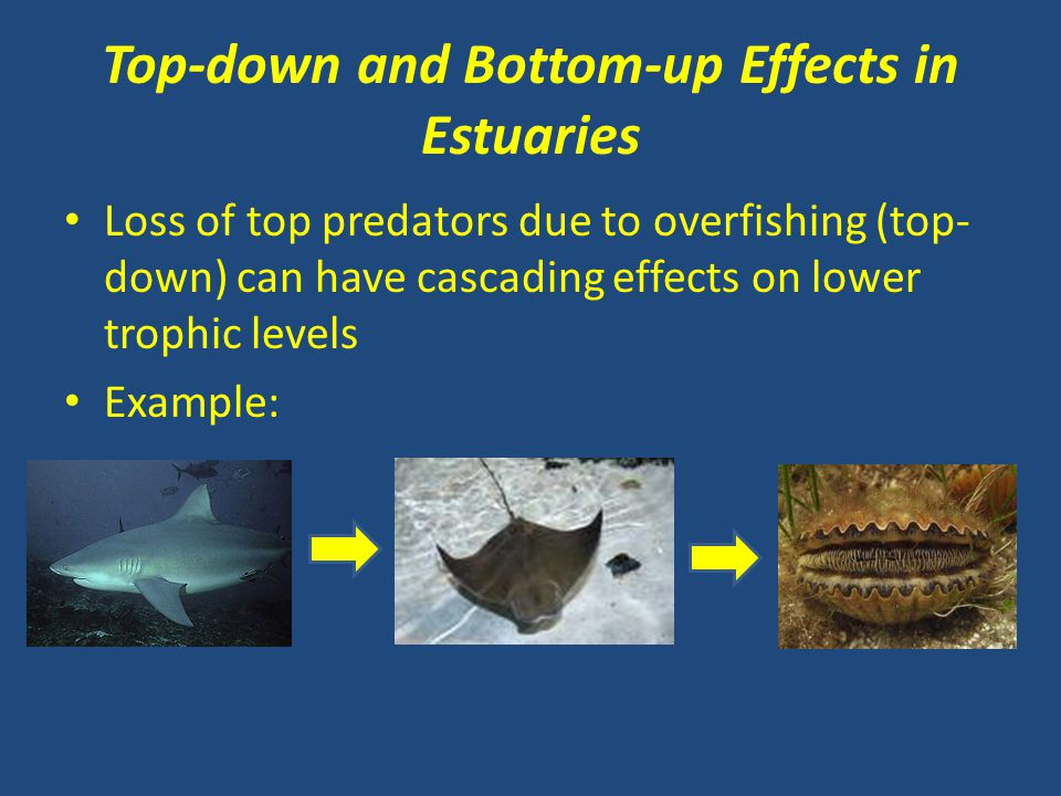 Top-down and Bottom-up Effects in Estuaries Loss of top predators due to overfishing (top- down) can have cascading effects on lower trophic levels Ex