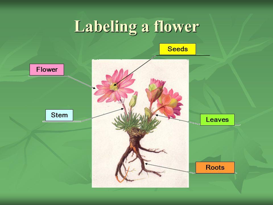 Labeling a flower Flower Stem Seeds Leaves Roots