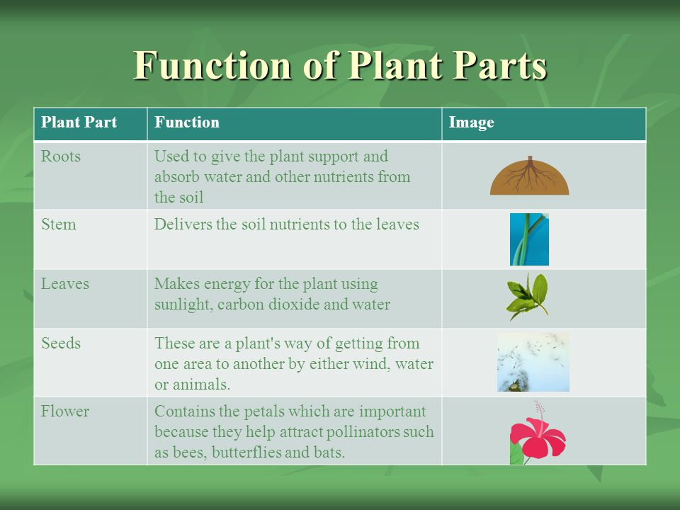 Function of Plant Parts Plant PartFunctionImage RootsUsed to give the plant support and absorb water and other nutrients from the soil StemDelivers the soil nutrients to the leaves LeavesMakes energy for the plant using sunlight, carbon dioxide and water SeedsThese are a plant s way of getting from one area to another by either wind, water or animals.