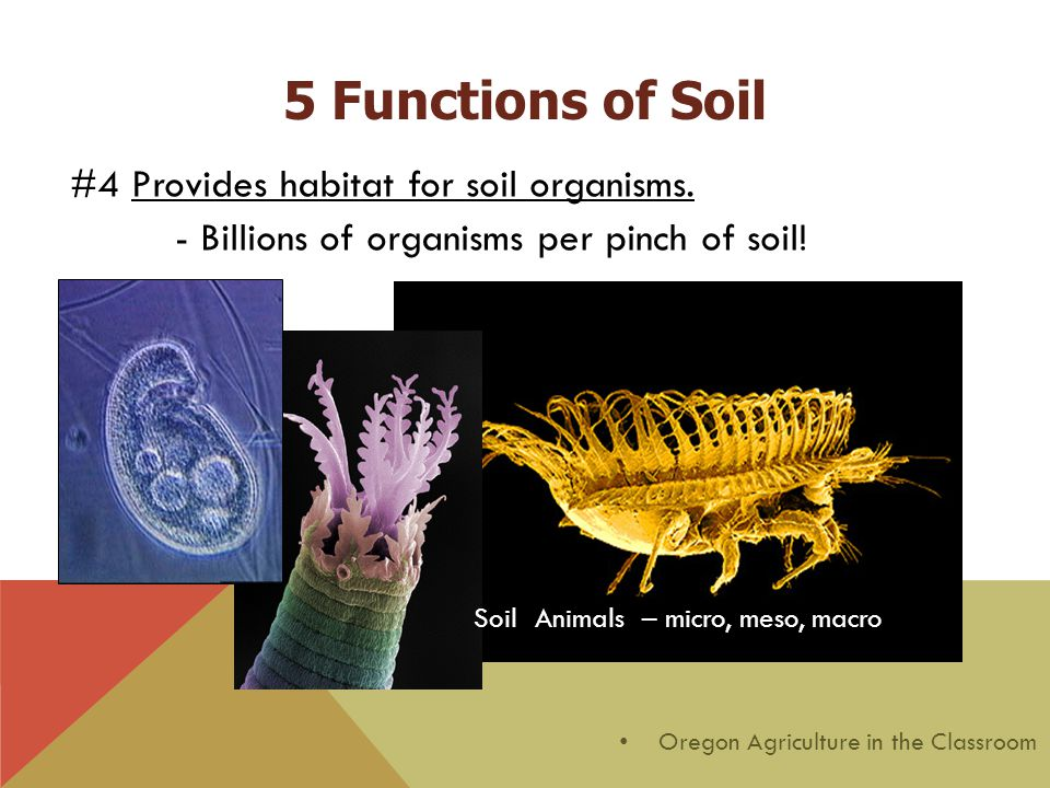 #4 Provides habitat for soil organisms. - Billions of organisms per pinch of soil! Protozoa Soil Animals – micro, meso, macro Oregon Agriculture in th