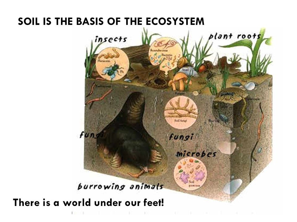 SOIL IS THE BASIS OF THE ECOSYSTEM There is a world under our feet!