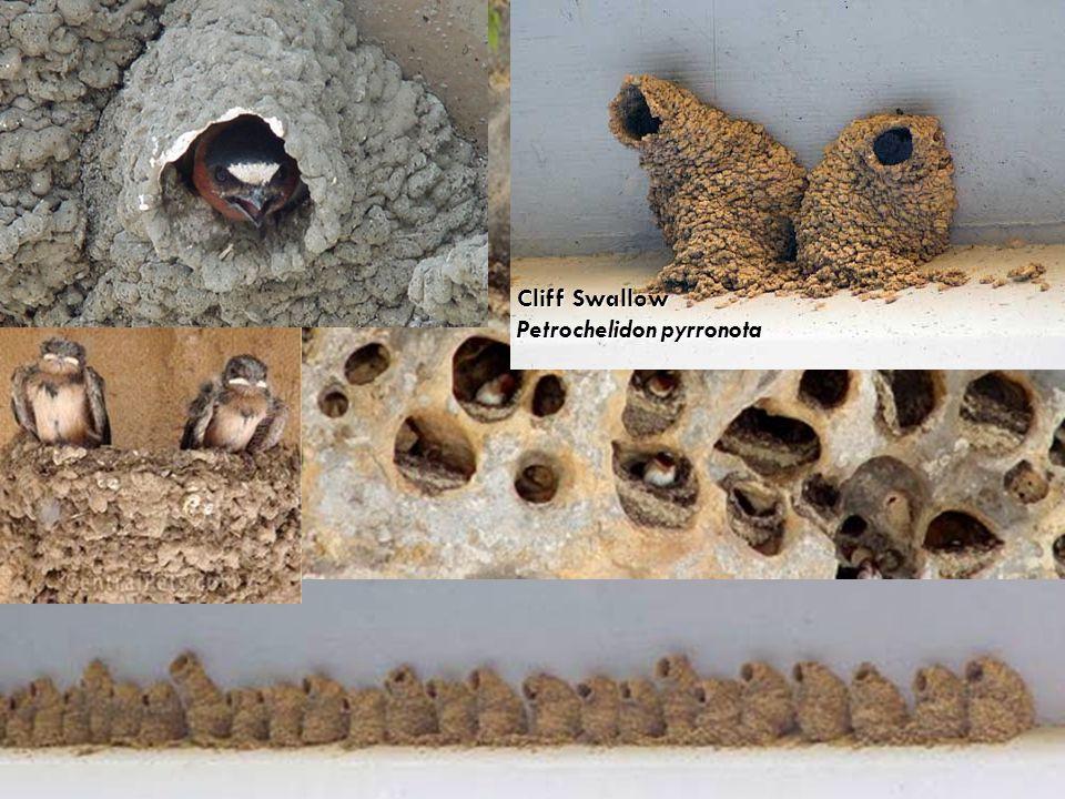 Cliff Swallow Petrochelidon pyrronota