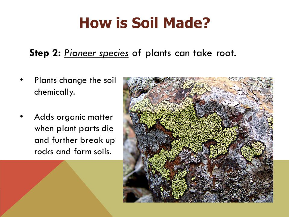 Step 2: Pioneer species of plants can take root. Plants change the soil chemically. Adds organic matter when plant parts die and further break up rock