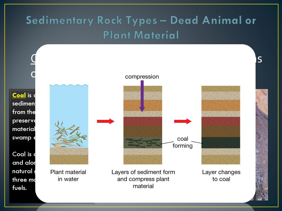 Organic or Biological Sedimentary – remains of plants and animals Coal is an organic sedimentary rock that forms from the accumulation and preservatio