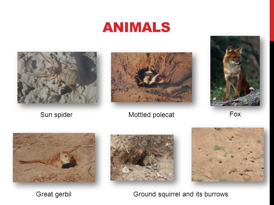 ANIMALS Stone curlewLong-legged buzzardPallas sand grouse Partridge and its nest
