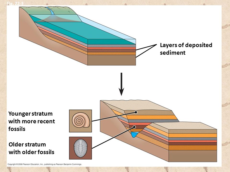 Fig. 22-3 Younger stratum with more recent fossils Layers of deposited sediment Older stratum with older fossils