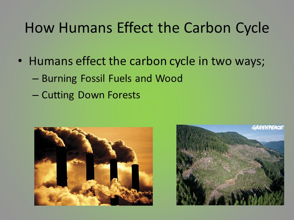 How Humans Effect the Carbon Cycle Humans effect the carbon cycle in two ways; – Burning Fossil Fuels and Wood – Cutting Down Forests