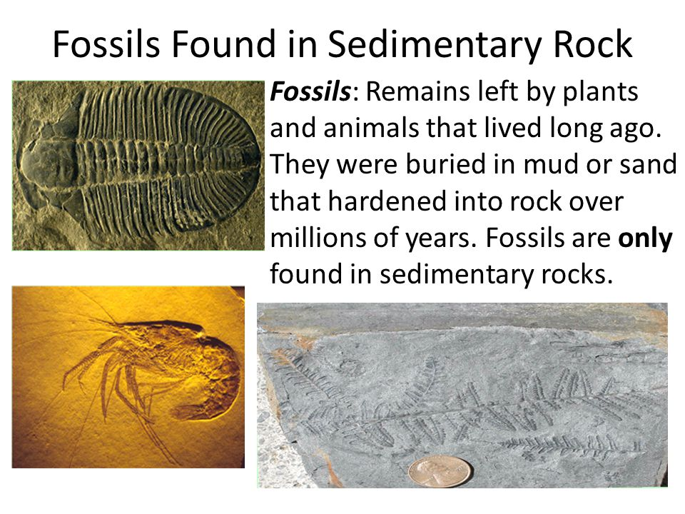 Fossils Found in Sedimentary Rock Fossils: Remains left by plants and animals that lived long ago.