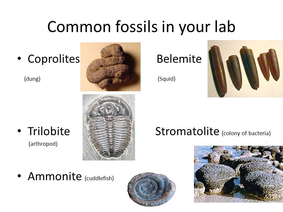 Common fossils in your lab Coprolites Belemite (dung) (Squid) Trilobite Stromatolite (colony of bacteria) (arthropod) Ammonite (cuddlefish)