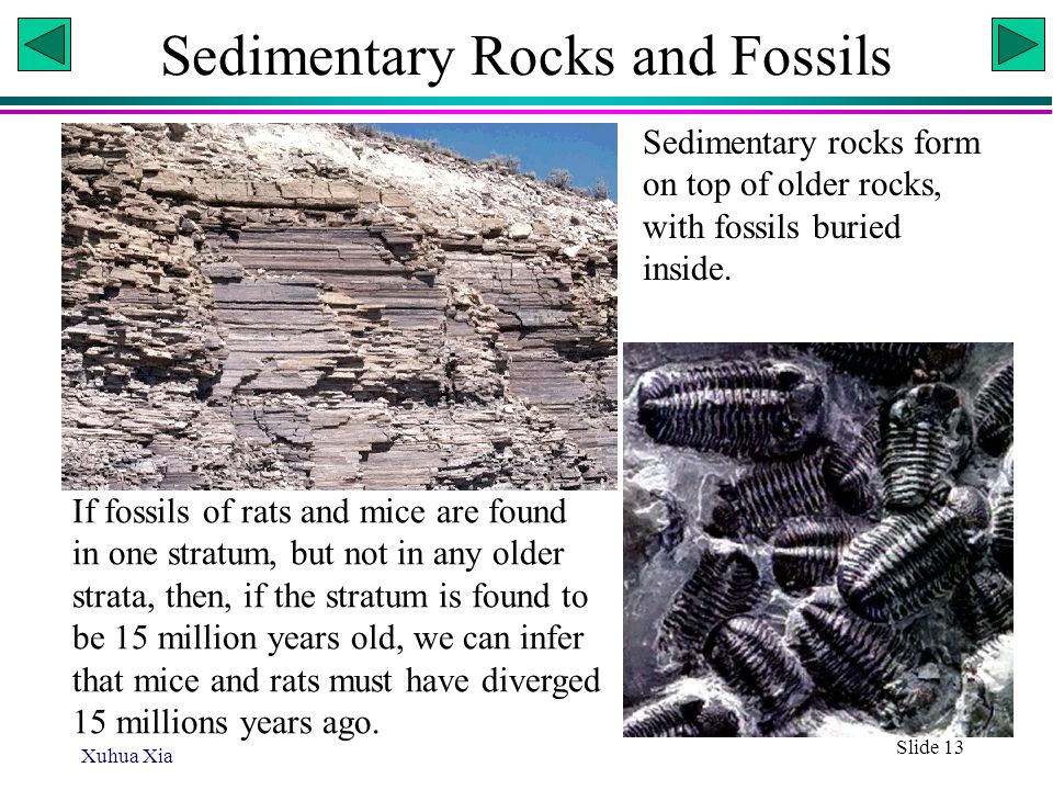 Xuhua Xia Slide 13 Sedimentary Rocks and Fossils If fossils of rats and mice are found in one stratum, but not in any older strata, then, if the strat