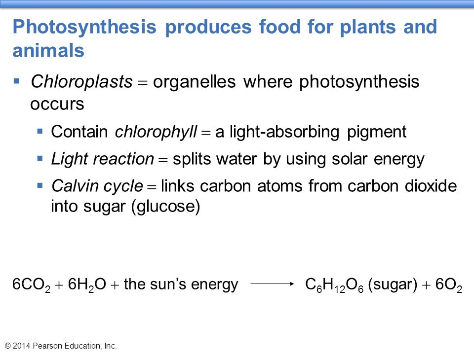 Photosynthesis produces food for plants and animals  Chloroplasts  organelles where photosynthesis occurs  Contain chlorophyll  a light-absorbing