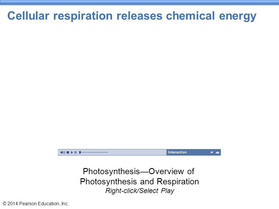 Cellular respiration releases chemical energy © 2014 Pearson Education, Inc. Photosynthesis—Overview of Photosynthesis and Respiration Right-click/Sel