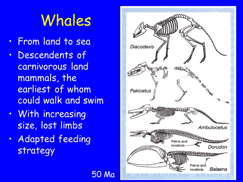 Whales From land to sea Descendents of carnivorous land mammals, the earliest of whom could walk and swim With increasing size, lost limbs Adapted feeding strategy 50 Ma