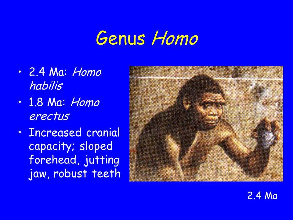 Genus Homo 2.4 Ma: Homo habilis 1.8 Ma: Homo erectus Increased cranial capacity; sloped forehead, jutting jaw, robust teeth 2.4 Ma