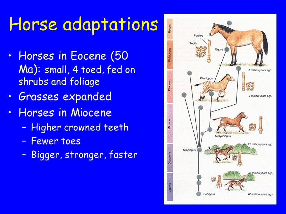 Horse adaptations Horses in Eocene (50 Ma): small, 4 toed, fed on shrubs and foliage Grasses expanded Horses in Miocene –Higher crowned teeth –Fewer toes –Bigger, stronger, faster