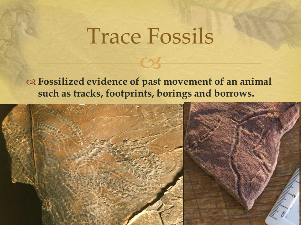  Trace Fossils  Fossilized evidence of past movement of an animal such as tracks, footprints, borings and borrows.