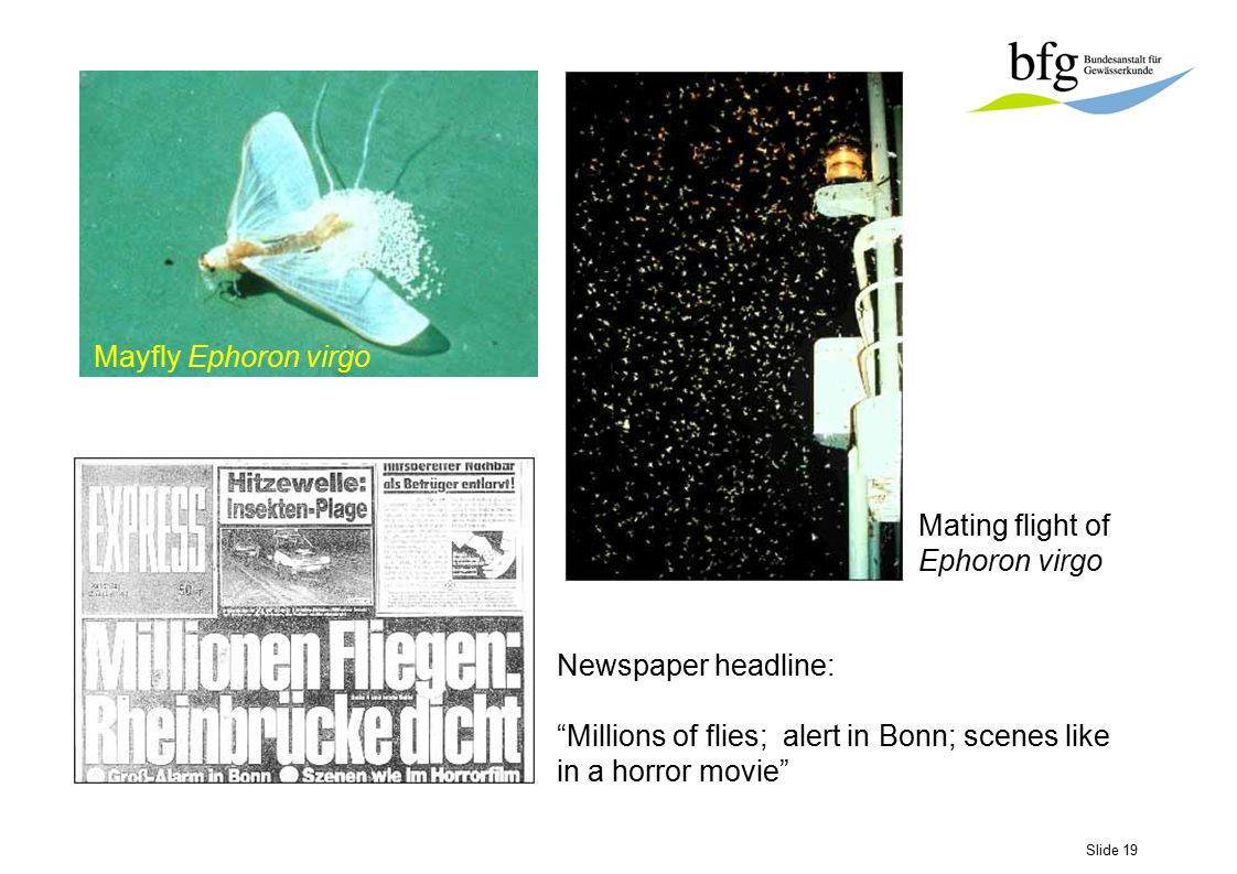 "Slide 19 Mayfly Ephoron virgo Mating flight of Ephoron virgo Newspaper headline: ""Millions of flies; alert in Bonn; scenes like in a horror movie"""
