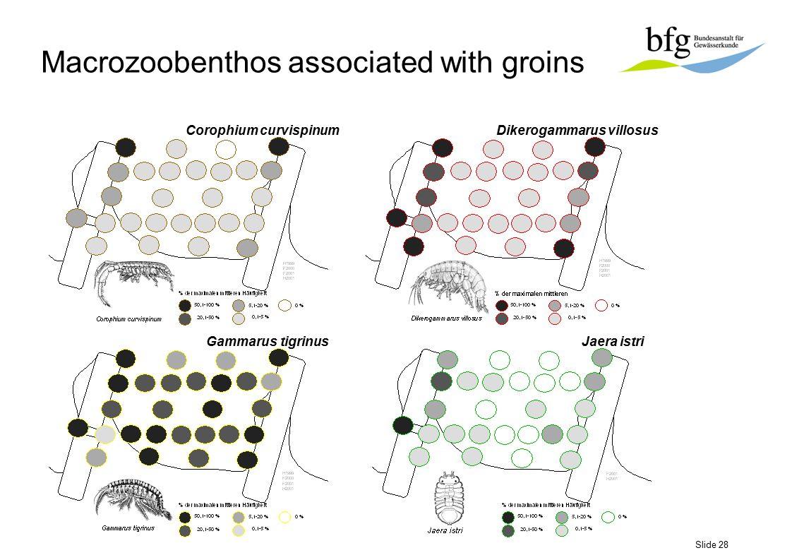 Slide 28 Corophium curvispinumDikerogammarus villosus Gammarus tigrinusJaera istri Macrozoobenthos associated with groins